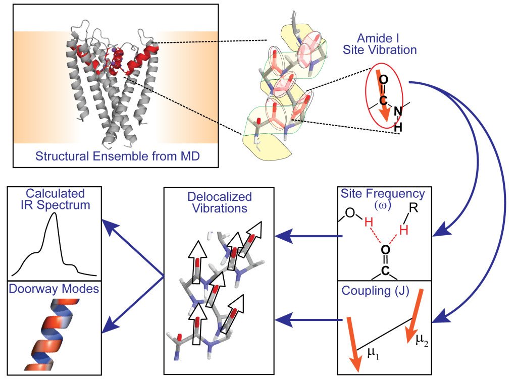 Individual peptide groups and their associated amide I transition dipoles are identified in structures sampled from MD simulations. Individual peptide groups and their associated amide I transition dipoles are identified in structures sampled from MD simulations. A local mode Hamiltonian is parametrized from the structure using the molecular electric fi eld to set the diagonal site frequencies and o ff -diagonal couplings between sites. The delocalized eigenstates and their corresponding transition dipole moments are used to calculate the IR spectrum and use doorway modes to visualize the vibrations.