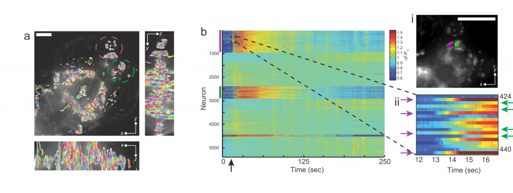 (a) Maximum-intensity projection (MIP) of a light-field deconvolved volume, (b)   Extracted Ca2+ intensity signal (∆F/F 0) of GCaMP5 fluorescence using spatial filters shown in a. Each row shows a time-series heat map. Color bars denote encircled regions in b, which include the olfactory epithelium, olfactory bulb and telencephalon. The arrow at ~15 s denotes the addition of an aversive odor. A close-up of the dashed box is shown (right, lower panel);