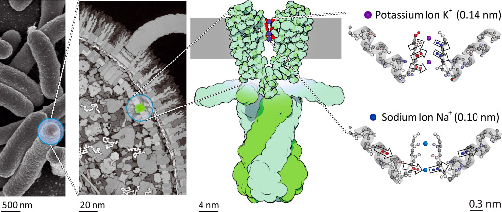 Location of the potassium channel KcsA in the cell membrane of bacteria. The schematic illustration on the right shows the changes in strength and direction of vibrational coupling inside the filter depending on the ion species, as found by the study. @David S. Goodsell & RCSB Protein Data Bank